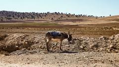 Skhouna - Sidi Bouzid السخونة - سيدي بوزيد (habib kaki) Tags: الجزائر افلو الاغواط سيديبوزيد algérie aflou laghouat sidibouzid skhouna السخونة animal âne حمار
