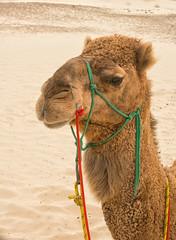 Camel-portrait_DSC2922 (Mel Gray) Tags: birubibeach nelsonsbay portstephens camels beach newsouthwales outdoors