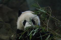 Bei Bei (贝贝/貝貝) 2016-11-13 (kuromimi64) Tags: smithsoniansnationalzoo nationalzoo smithsonian スミソニアン zoo 動物園 washingtondc usa america アメリカ合衆国 アメリカ ワシントンdc bear クマ 熊 panda giantpanda パンダ ジャイアントパンダ 熊猫 大熊猫 貝貝 beibei