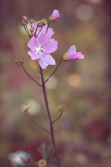 pink (rich lewis) Tags: macro macrophotography flower nature urbannature richlewis