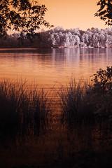 October 2016 in infrared 7 (furrycelt) Tags: harrislake newhillnc northcarolina shearonharrisreservoir sigma50mmf14 sigma50mmf14exdghsm sonya3000 ianwilson jianwilson photographersoftumblr 50mm 665nm october sigma sony a3000 forest furrycelt infrared ir lake leaves lensblr natural nature outdoors trees water waves woods