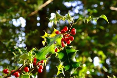 Holly (rustyruth1959) Tags: nikon nikond3200 tamron16300mm cumbria arnside holly tree bush shrub outdoor nature berries red light bokeh green woodland woods ashmeadow leaf spikes leaves