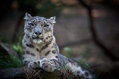 portrait of snow leopard (rondoudou87) Tags: léopard leopard snowleopard léoparddesneiges panthère panther parc reynou zoo nature wild wildlife portrait pentax k1 da300 panthèredesneiges panthera uncia felin ngc allnaturesparadise