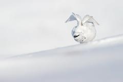 Ptarmigan (Lagopus muta) (James Shooter) Tags: lagopusmuta march scotland cairngorms cairngormsnationalpark camouflage grouse mountain mountainous nationalpark native ptarmigan snow snowy upland winter