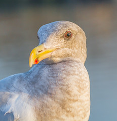 Old Red Eye. (Omygodtom) Tags: wildlife outdoors bird senery selectivefocus seagull red digital nikon70300mmvrlens nikkor nature nikon d7100 portrait
