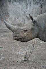DSC00339 (Cyn Reynolds) Tags: blackrhino a77ii 2016 zulunyala southafrica sooc