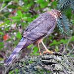 Sharp-shinned Hawk_Juvenile thumbnail