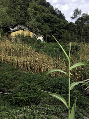 Mountain Farmhouse (cowyeow) Tags: landscape mountain farm farmer shennongjia shennongjiaforestrydistrict hubei composition farmers asia asian china chinese corn mountains house