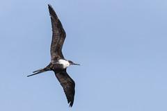 Great Frigatebird / 'Iwa (Fregata minor) (sp. # 119) (s_uddin59) Tags: greatfrigatebird frigatebird kuilimawwtp kuilima fregataminor oahu northshore hawaii birdinflight iwa