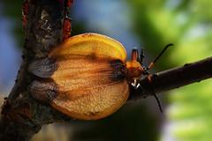 Tailed Net-winged Beetle (stanislav snall) Tags: lycidae coleoptera insecta macrophotography beetles netwingedbeetles kruger krugerpark nationalparks southafrica safari entomology
