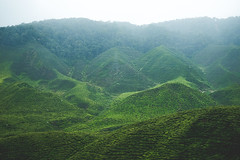 DSCF1135 (tzeyangtan) Tags: cameron highlands green tea plantation