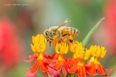Brookside Gardens Bee 4 (strjustin) Tags: brooksidegardens bee macro insect bug flowers beautiful canon canon60d