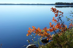 Fall rowan (sakarip) Tags: sakarip rowan mountainash pihlaja lake fall autumn kuusamo finland serene calm still peaceful september north northern shore waterfront lakescape water
