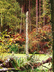swamp (mark.griffin52) Tags: olympusem5 england bedfordshire stockgrovecountrypark landscape woodland birch trees marsh bog swamp