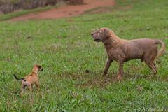 cachorros (Andre Zuin) Tags: dogs perros cachorros animals animais bichos grama grass verde green nature natureza naturaleza pets cerrado goias brasil brazil travel viagem farm fazenda labrador filhote puppy