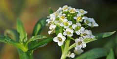poi torna il sole... (andrea.zanaboni) Tags: fiore flowers sole sun luce light macro nikon colori colors inverno winter