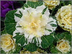 Ornamental Cabbage .. (** Janets Photos **) Tags: uk plants cabbage ornamentalplants