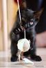 minimonsterkitten (leaving-the-moon) Tags: 2016 201606 animals black blackandwhite cat gondor haustier katze katzen pet rohan schwarz kitten