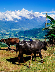 Chained (cody.waldon) Tags: cow animals adventure amazing mountains view vsco colour fuji nepal nature explore wanderer walking scene scenery skyscape