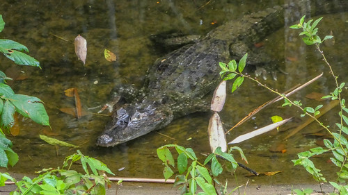 Spectacled caiman at the Paramaribo Zoo