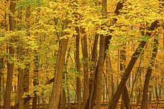 Autumn Scenes River Trail Nature Center Northbrook Illinois 10-30-2016  618 (www.cemillerphotography.com) Tags: fall season coolweather fallingleaves red brown yellow gold pumpkins october november halloween vividcolor cookcountyforestpreservedistrict animals worker lecturer display hiking trails biking forest coyote