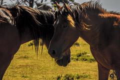 (VoltaRevolta) Tags: animal animales horse horses caballo caballos animals natural paisaje