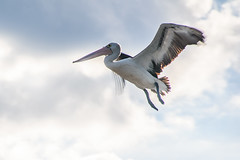 Pelican in the sky (Merrillie) Tags: woywoy nature australia birds outdoor nswcentralcoast newsouthwales animal lookingup takeoff clouds landing wildlife centralcoastnsw sky photography bird nsw outdoors animals fauna centralcoast flying pelican