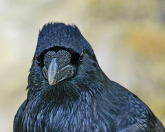 Kolkrabe (blacky_hs) Tags: kolkrabe corvus corax old faithful yellowstone national park