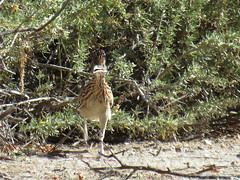 Greater Roadrunner - Arizona by SpeedyJR (SpeedyJR) Tags: 2016janicerodriguez sweetwaterwetlands tucsonaz greaterroadrunner roadrunners birds wildlife nature tucsonarizona arizona speedyjr