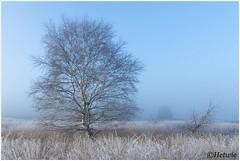 Berk (HP019895) (Hetwie) Tags: nature kou strabrechtseheide heide heather strabrecht rijp zonsopkomst sunrise natuur ochtend gras boom ice ijs birch berk tree lierop noordbrabant nederland frost frozen