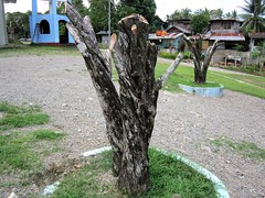 CUT (PINOY PHOTOGRAPHER) Tags: maco compostela valley mindanao tree trunk philippines asia world