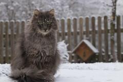 Tough kitty braving winter (FocusPocus Photography) Tags: fynn fynnegan katze kater cat chat gato tier animal haustier pet winter frost kalt cold