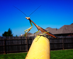 the full pose (fallsroad) Tags: mantis insect prayingmantis panasoniclumixfz30 jenksoklahoma