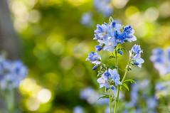 blue flowers (Sam Scholes) Tags: flowers blue plant flower macro nature digital garden utah nikon bokeh saltlakecity d300 redbuttegarden