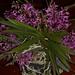 Ascofinetia Cherry Blossom – Renate Schmidt