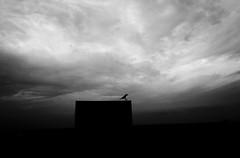 Landing (Ragavendran / Rags) Tags: blackandwhite bird monochrome rain dark alone loneliness rainyday landing monsoon lonely crow minimalism marinabeach chennai loner tamilnadu darkclouds rainclouds allalone darkphotography cwc clods perfectlanding chennaiweekendclickers ragavendran marinamornings