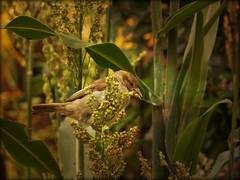 Sorghum Supper (MissyPenny) Tags: birds garden seeds sparrow buckscounty millet springtime southeasternpa bristolpennsylvania birdsinpennsylvania pdlaich missypenny