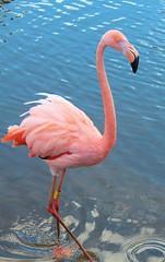Flamingo (laufar1) Tags: pink birds animal canon flamingo digitalcamera doncaster