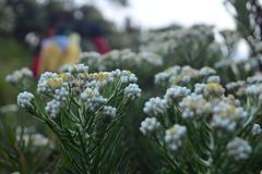 Bunga Edelweis Ciremai (qefy) Tags: hiking hijab gunung awan sahabat kuningan langit agustus mendaki bendera persahabatan liburan semangat merahputih jawabarat renungan ciremai kebersamaan pegunungan jelajah muncak gunungciremai bungaedelweiss puncakgunungciremai pendakiangunungciremai