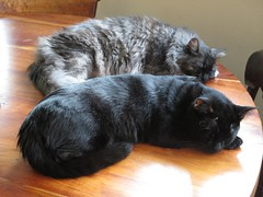 Dusty and Lucky (Philosopher Queen) Tags: cats dusty blackcat table chats gatos lucky kitties blacksmokecat