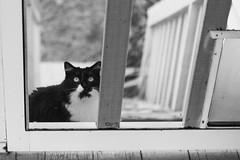 Patchouli at door (Pamela Greer) Tags: door blackandwhite cats cat screen