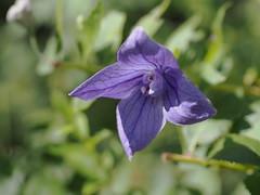 (Polotaro) Tags: flower nature pen olympus   zuiko 9      mzuikodigital45mmf18 epm2