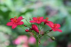 Jatropha integerrima - Artis (Ruud de Block) Tags: artis euphorbiaceae jatrophaintegerrima