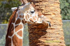 i am your friend_0960 (2HandzUp1913) Tags: california birds animal animals mammal zoo oakland auntie tiger alligator lion nephew monkeys giraffe mammals reptiles birthday mybirthday 2011 rememberingcash ripjoshi alwaystitisbaby alwaysonmymind foreverinmyheart december31 happynationaldayofme celebratinglifemineandhis 1987september25