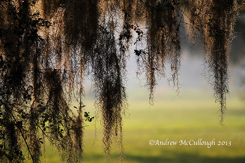 Spanish Moss in the Evening Light
