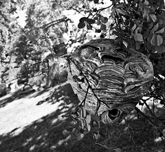 Opening a Hornets' Nest 1 (LongInt57) Tags: roses bw white canada black nature garden grey mono bc okanagan bees gray insects bugs kelowna benches wasps bushes hornets hives nests