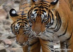 A tiger cub stays close to his mom! (WhiteEye2) Tags: india wildlife tiger tigercub bengaltiger ranthamborenationalpark