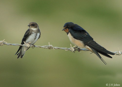 "Swallow and Sand Martin (J H Johns) • <a style=""font-size:0.8em;"" href=""https://www.flickr.com/photos/30837261@N07/10722967355/"" target=""_blank"">View on Flickr</a>"