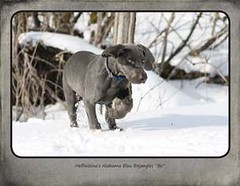 "FINAL Blue Weim 2014 calendar_Page_02 • <a style=""font-size:0.8em;"" href=""http://www.flickr.com/photos/109220014@N05/10955637335/"" target=""_blank"">View on Flickr</a>"