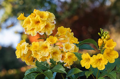 yellow buttercups (Uncle Tee TX) Tags: hennysgardens